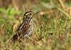 Savannah Sparrow, Anahuac NWR, April 29, 2011.