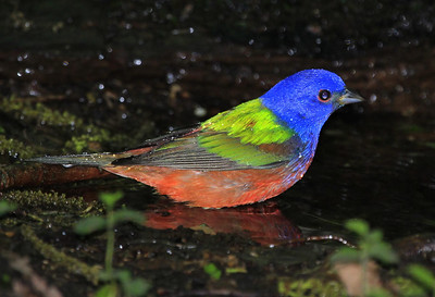 Male Painted Bunting, High Island, Texas BSW blind. April 2011.