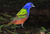 A male Painted Bunting- I can never get enough of these guys..