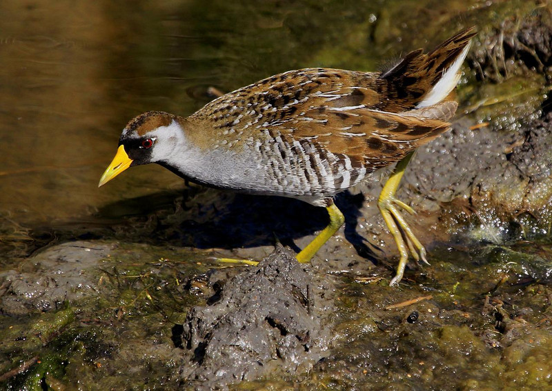 May 6, 2011, a Sora rail forages for food at Anahuac NWR around Shoveler Pond.