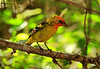 Immature Western Tanager, High Island, Tx. April 2011.