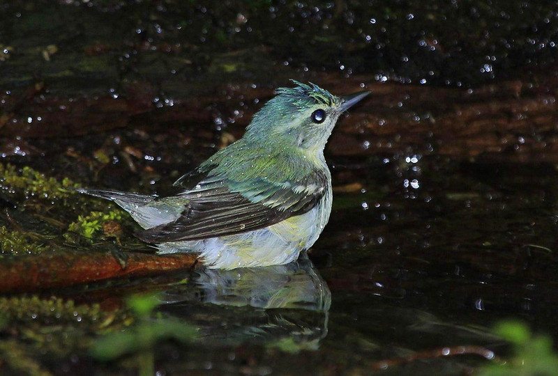 female Cerulean Warbler. Ceruleans are less common that most other Warblers and usually create a little buzz in the blind when they show up. The green feathers on males are even more colorful and the markings are more distinct..