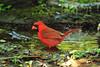 Northern Cardinal, High Island.