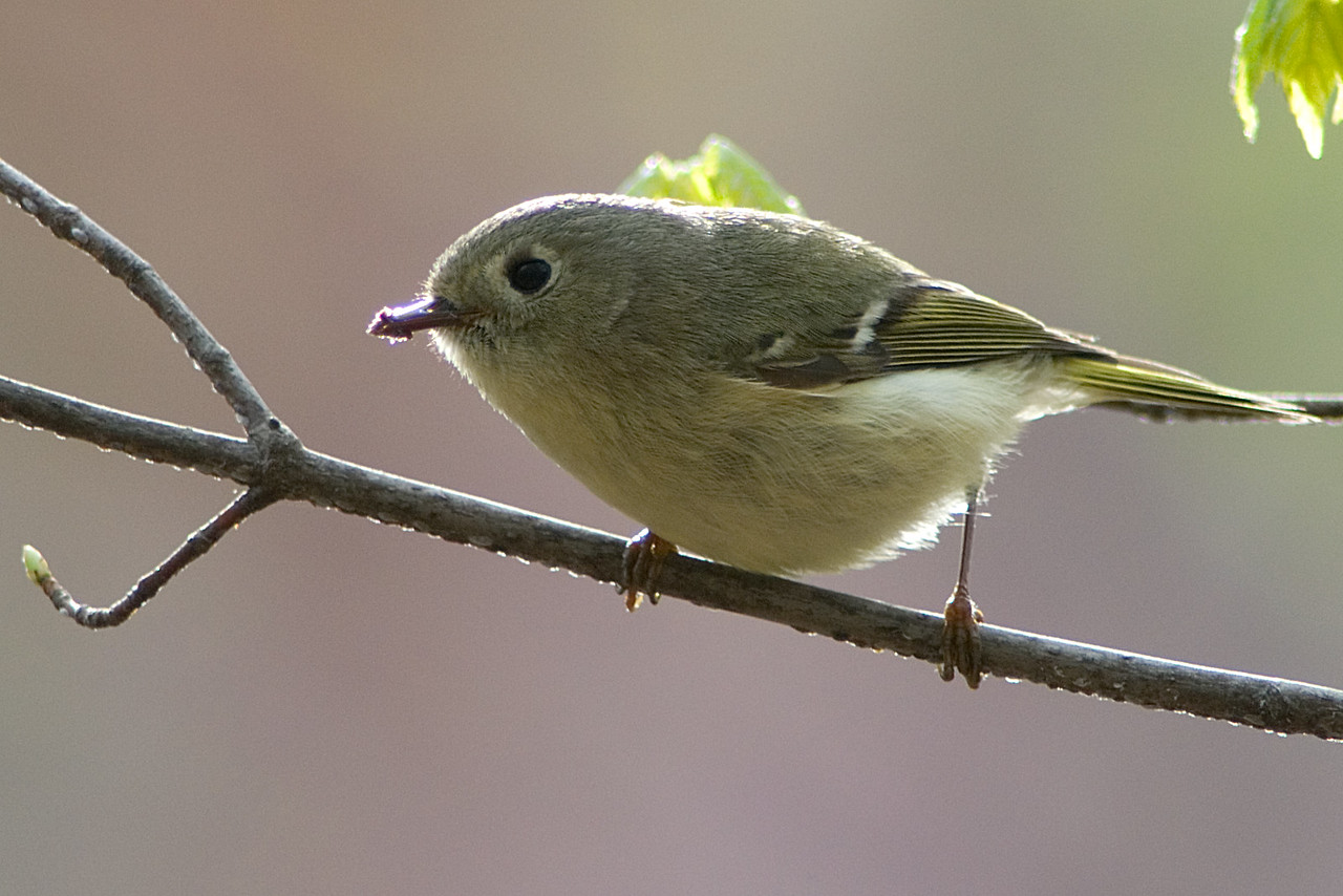 Ruby-crowned Kinglet<br /> <br /> Probably the first and last time I will be able to get a Kinglet sharp and in the frame with my manual focusing, so enjoy it!<br /> <br /> Monticello Park in Alexandria, VA