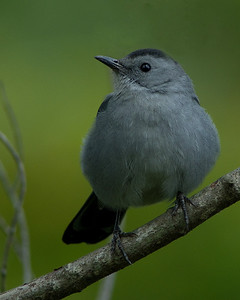 Grey Catbird  Huntley Meadows