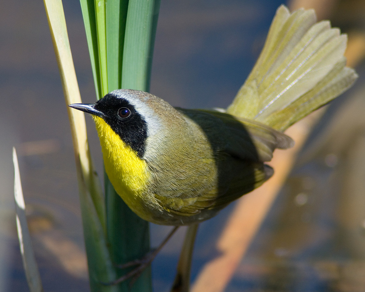 Common Yellowthroat<br /> <br /> Got to watch this early arrival dart in and out of the reeds during an extended breakfast run!<br /> <br /> Huntley Meadows, Alexandria, VA