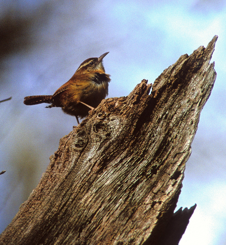 Ruffled Feathers in the Wind<br /> <br /> This Carolina Wren braved the cold blasts from the arctic air, showing its feathers and proud stance in the meantime.