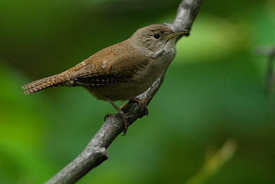 House Wren  Singing away in the woods near dusk -- posed nicely for me!