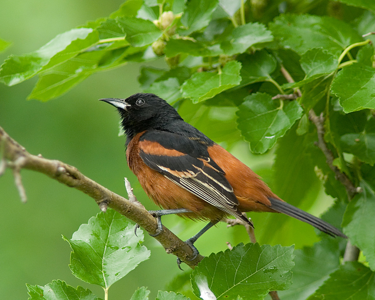 Orchard Oriole<br /> <br /> This pose is more of a contemplative look from the same male Oriole.  Or maybe he is just eyeing those Mulberries . . .<br /> <br /> Cincinnati, OH