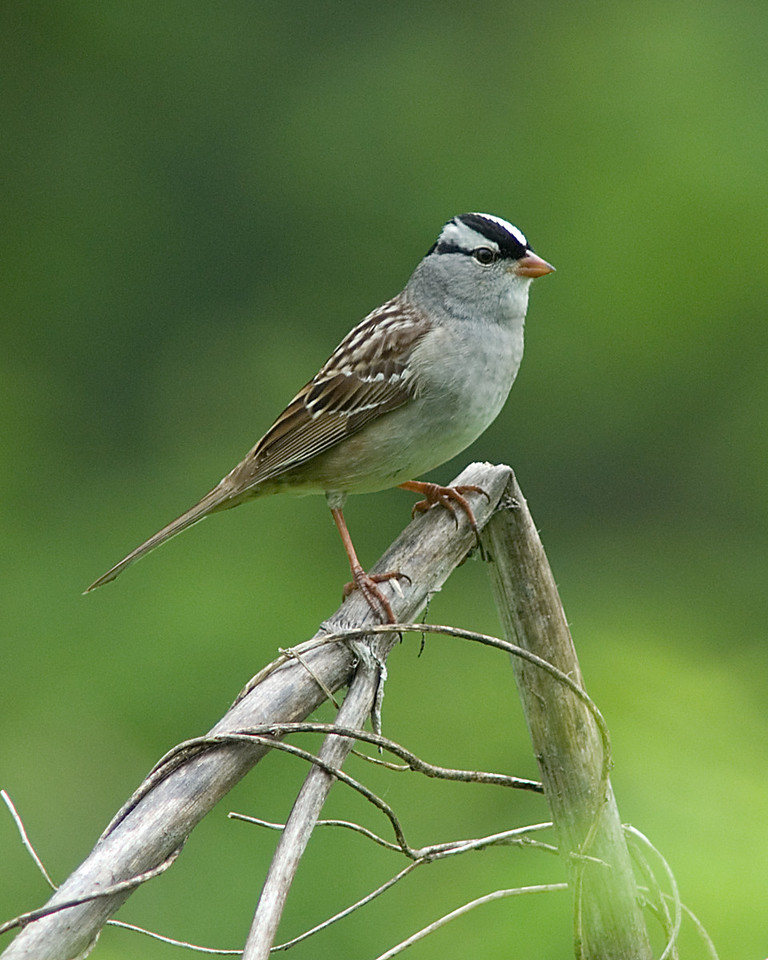 White Crowned Sparrow<br /> <br /> Magrish Preserve on Little Miami River<br /> <br /> Cincinnati, OH