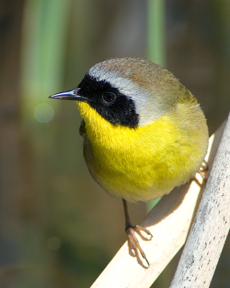Common Yellowthroat<br /> <br /> Quick Headshot for his portfolio . . .<br /> <br /> Huntley Meadows