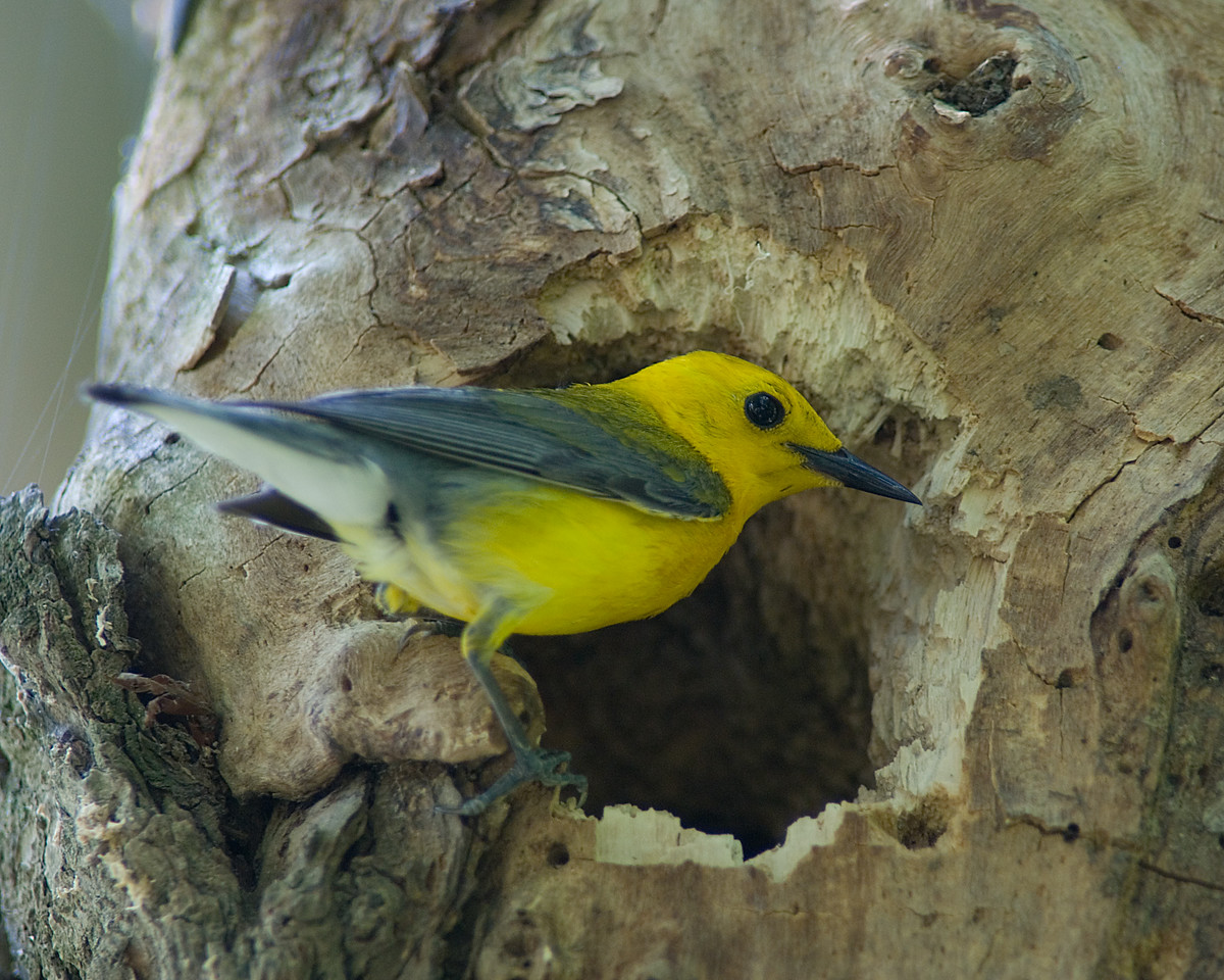 Prothonotary Warbler<br /> <br /> Visiting the nest to drop food off to the female -- quite an interesting setup.  About half of the time I was watching, the female would go down into the cavity and transfer food to the chicks.  Of course, the rest of the time both the male and female were directly feeding the chicks, but these times gave a much better chance of a nice pose at the entrance!