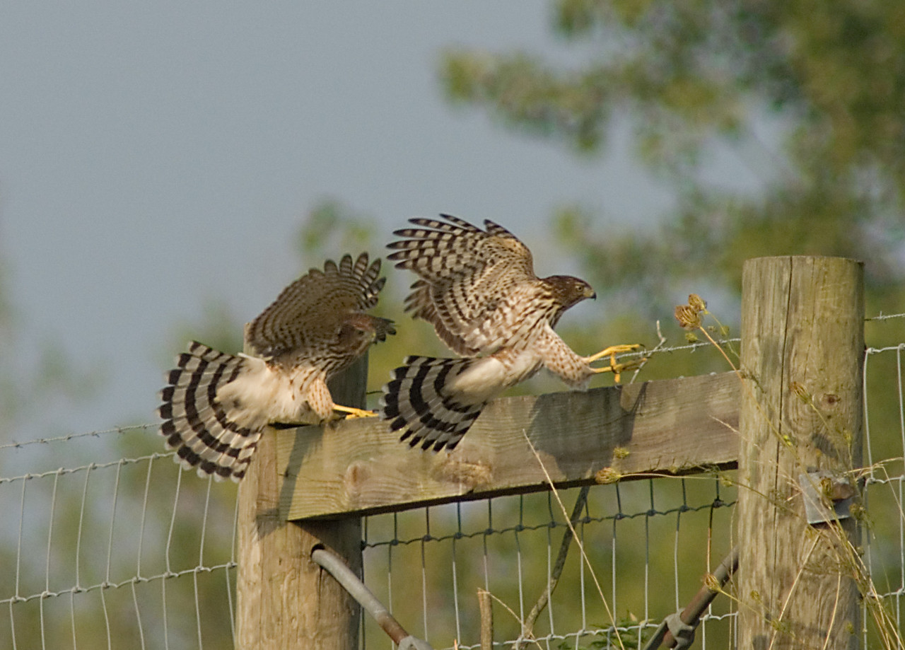 Cooper's Hawks<br /> <br /> A pair of juveniles out of a family of FIVE.  They seem to enjoy playing with each other more than hunting for food.  Mom and dad even get in on the action some of the time.  A real treat to watch as they test out those wings!