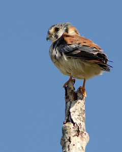 American Kestrel  Everglades National Park, Florida