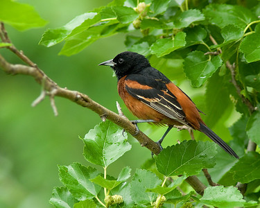 Oriole in Orange