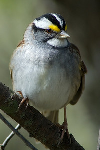 White-throated Sparrow  On their way to Canada now, and singing all along the way!  From Huntley Meadows in Alexandria, VA