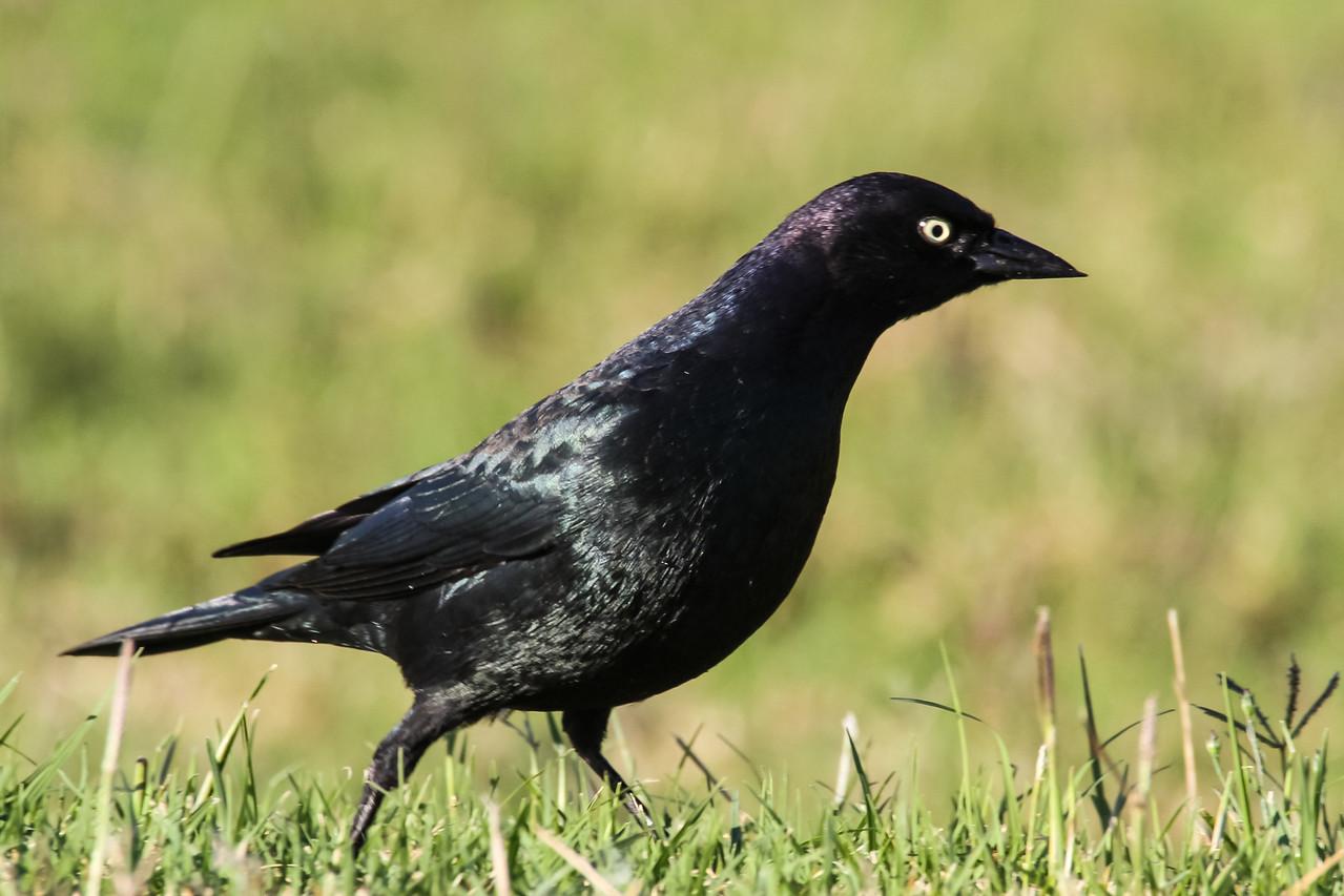 Brewers Blackbird