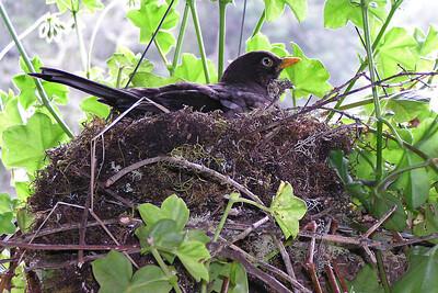 Sooty Robin (Costa Rica)