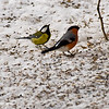 European Robin and Great Tit
