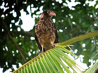 falcons caracaras