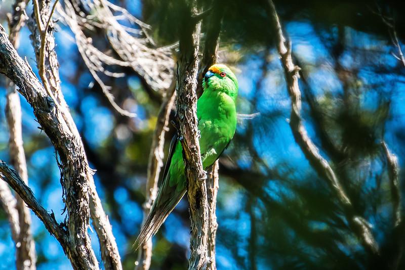 malherbe's parakeet