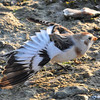 Snow Bunting wings extended Startops End Reservoir 15 Dec 2011