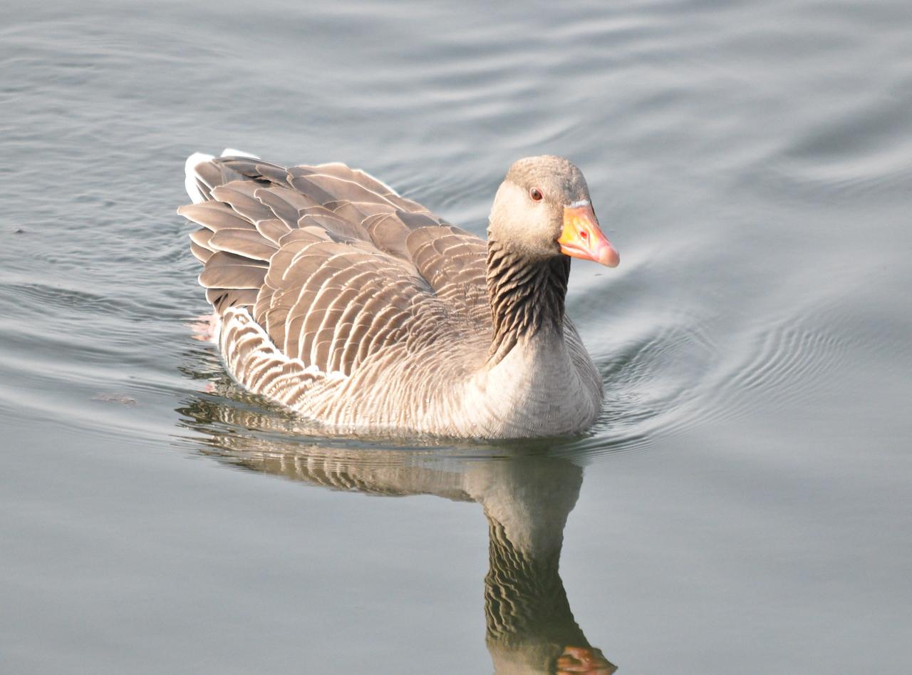 Greylag Goose, Tringford