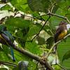 Black-throated Trogon (male and female)