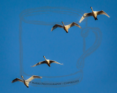 Arctic Tundra swan, flying south into the refuge.