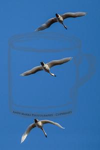 Arctic Tundra Swan