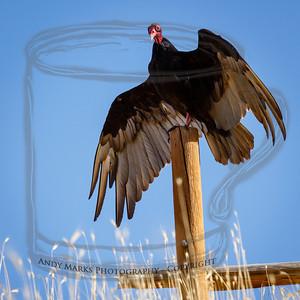 Turkey vulture, north rim of Dimple Dell Pk