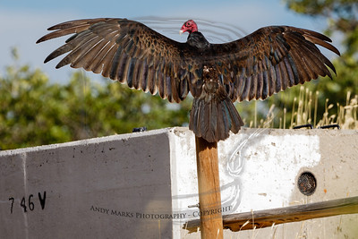 Turkey vulture, cooling itself on a hot and humid morning. He's got some feather damage in the middle of his lower back.