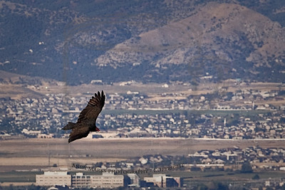 Turkey vulture soaring above DDell Park with the Oquirrh Mtns to the west. 26Sept10