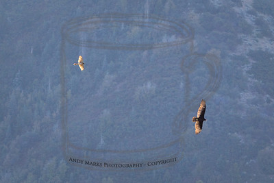 The hawk and turkey vulture, flying together. 4Sept10
