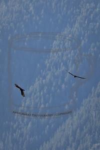 Turkey Vulture, Below Lone Peak