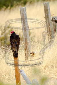 Turkey vulture, taken from a bit north-east of its position, perched on a fence post.   (stoners destroy the rail fence and litter the area with beer cans and dope paraphernalia)