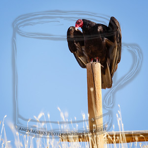 Turkey vulture, stretching its wings, looking for lift, or simply trying to cool off.