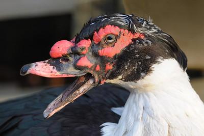Muscovy Ducks Feb 2010