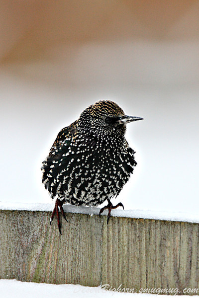 Starling in the snow
