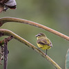 Brown-capped Tyrannulet