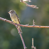 Hammond's/Gray/Dusky Flycatcher (Not entirely certain which species)