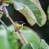 Black-headed Tody-Flycatcher
