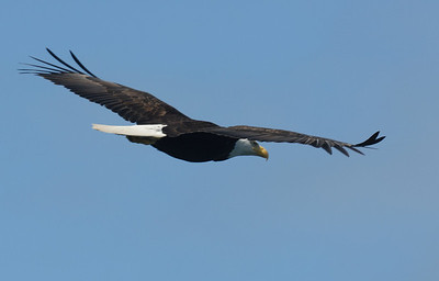 Bald Eagle in Flight - Vancouver Island, Canada.