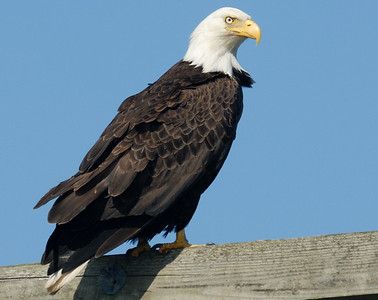 Bald Eagle In the Harbor - Vancouver Island.