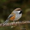 Boreal Chickadee - Meadowland Sax-Zim Bog