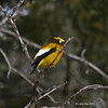 Evening Grosbeak in Sax-Zim Bog