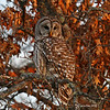 Barred Owl Near Minong, Wi.  Flew in front of us at dusk and landed along road.  My 1st thought was Great Gray.  Oh well.