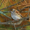 Darker White-throated Sparrow at Minong Wi- Oct 2012