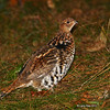 Ruffed Grouse at Minong Wi- Oct 2012