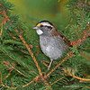 White-throated Sparrow at Minong Wi- Oct 2012